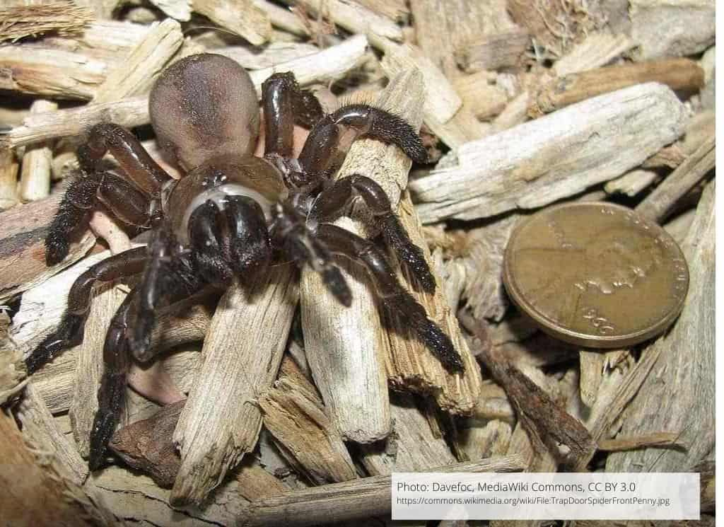 Bothriocyrtum californicum (California Trapdoor Spider). Photo: Davefoc, MediaWiki Commons, CC BY 3.0