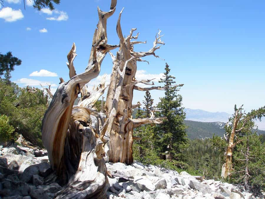 Bristlecone pine forest in Great Basin National Park. Photo: USGS, public domain.