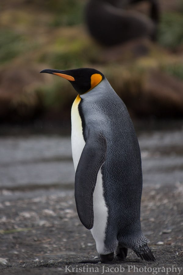 South Georgia Island is known for its King penguin population. Photo: Kristina Jacob.