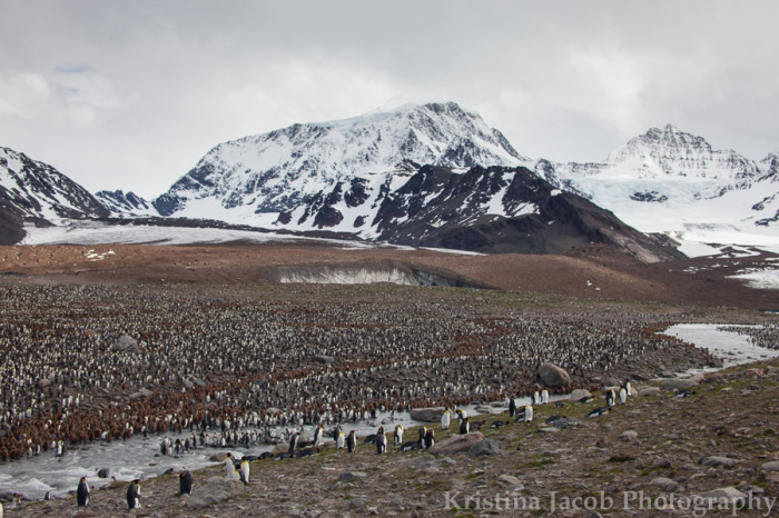 King Penguins in St. Andrews bay, South Georgia Island This is penguin colony is home to approximately 250,000 penguins. Credit: Kristina Jacob.