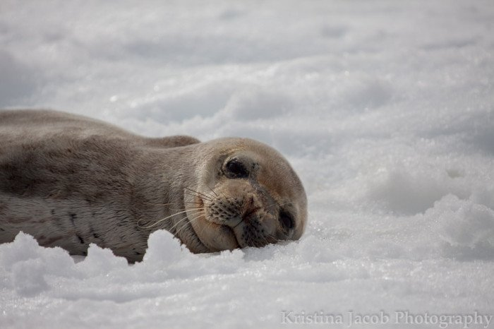 A Weddell seal rests on an ice floe in Antarctica. Photo: Kristina Jacob.