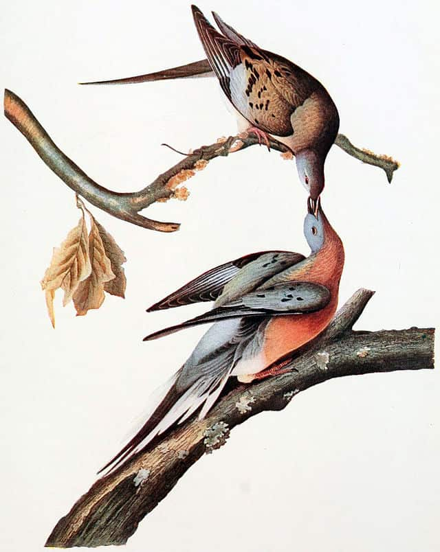 Female (upper bird) and male (lower bird) Passenger Pigeons.   Reproduced from the John J. Audubon Plate