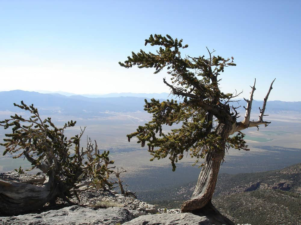 An example of a Great Basin Bristlecone Pine Pinus longaeva. Photo: Bristlecone Pine on Mt. Washington in the backcountry of Great Basin National Park, NPS, public domain.