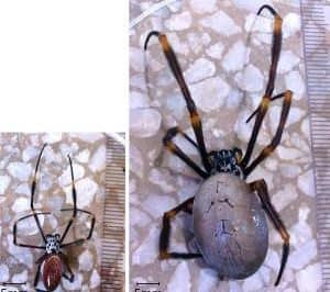 Variation in spider size. Photo: Elizabeth Lowe