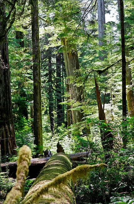 Ancient temperate rainforest in the Upper Walbran Valley on Vancouver Island, BC. Photo: TJ Watt