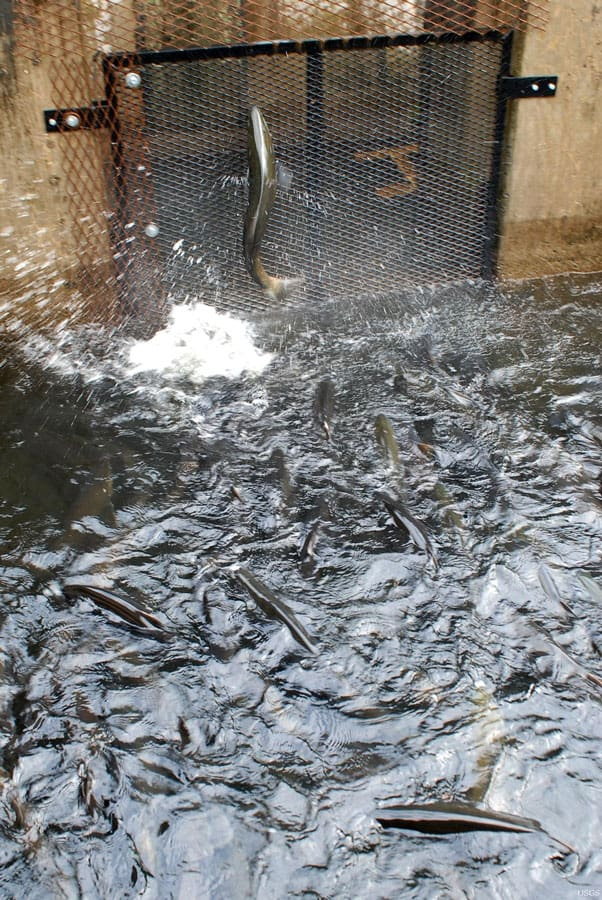 Thousands of young Atlantic salmon are being released into Salmon River in an effort to restore this diminished Lake Ontario fish population, extending the sport fishing season by at least two months in Oswego County, N.Y. Photo: Marisa Lubeck, U.S. Geological Survey. Public domain.