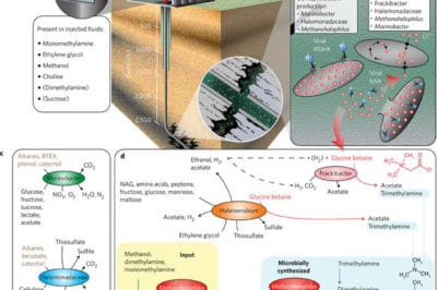 The introduction of fracking fluids very drastically changes the underground microbial ecosystems which become dominated by bacteria that thrive in highly saline environments including those of a new genus named Frackibacter. Figure from Daly et al. (2016).
