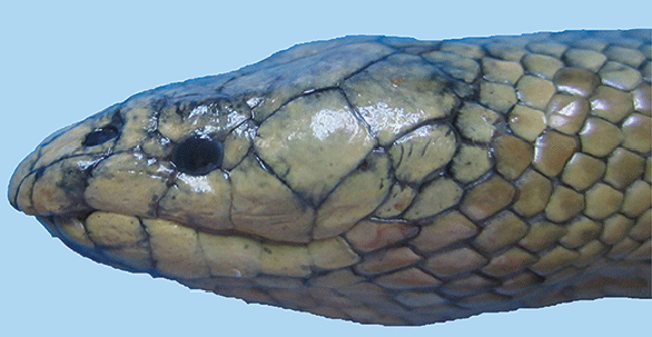 Lateral view of the head of Günther snake (Microcephalophis cantoris). Source: Rezaie-Atagholipour et al., 2016).