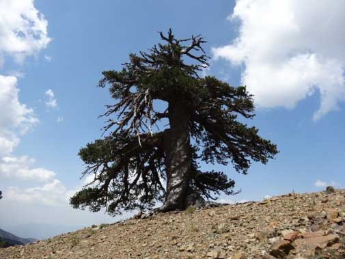 Adonis, a Bosnian pine (Pinus heldreichii) is the oldest known living tree in Europe.