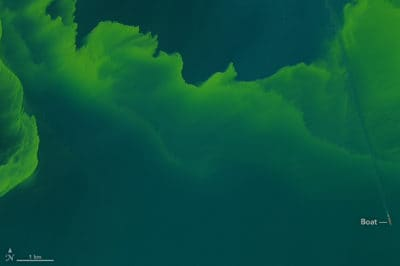 Large phytoplankton bloom in western Lake Erie. Source: Landsat 8, acquired September 26, 2017, NASA.