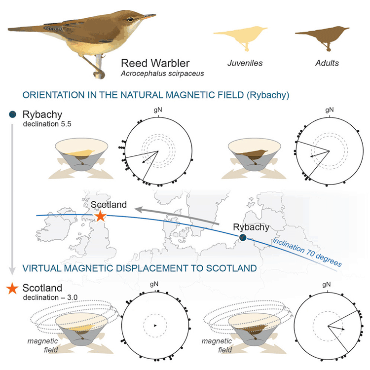 Figure from Migratory Eurasian Reed Warblers Can Use Magnetic Declination to Solve the Longitude Problem, Chernetsov et. Al, 2017.