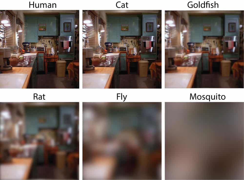 How well can you see compared to a cat, fish, rat, fly, or mosquito? Visual acuity simulation from Caves, 2018.