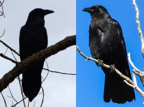Raven tail shape (left) and crow tail shape (right). Photo (L): NPS Photo/Marc Neidig. Photo (R): NPS/Andrea Putnam. Both in public domain.