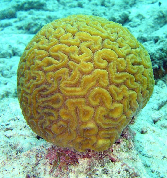 Brain coral (Diploria labyrinthiformis). Photo: Jan Derk, 2005. CC BY 2.0