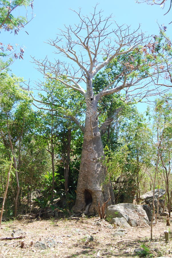 Brought to the Carribean by enslaved Africans, this is the only baobab tree on St. John. Photo: Carrie Stengel, NPS, Virgin Islands National Park, public domain.