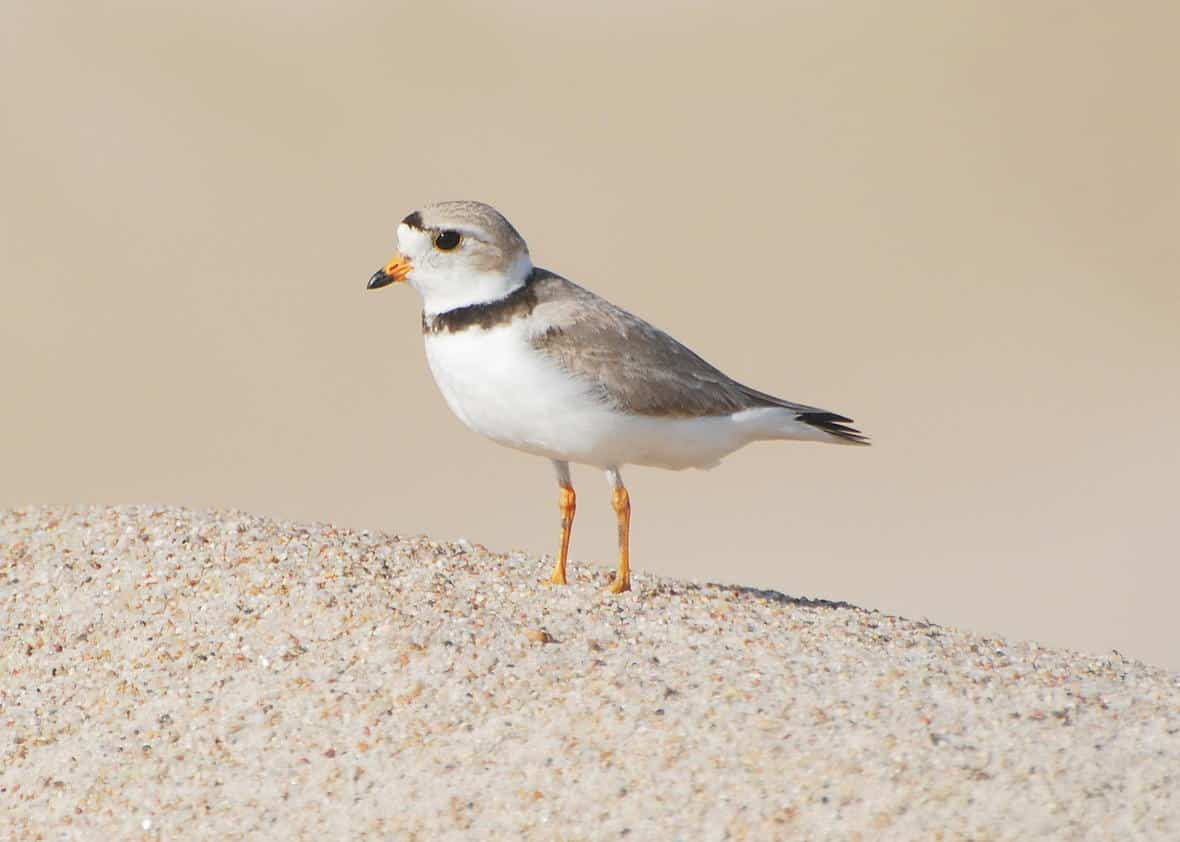 Photo of a Piping Plover on the sand.