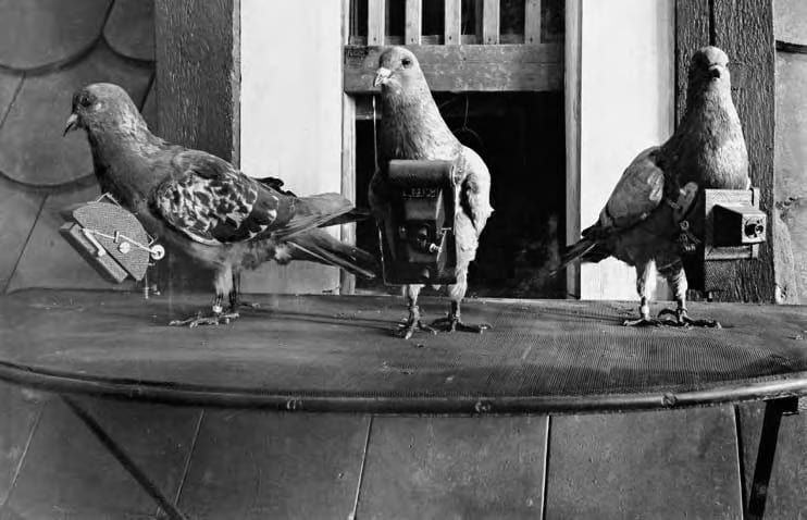 Homing pigeons strapped with Neubronner's cameras.