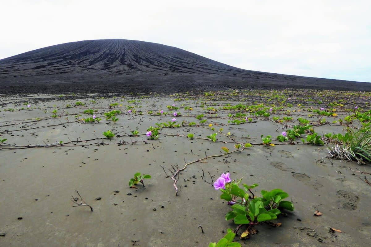 Vegetation taking root on the flat isthmus of Hunga Tonga-Hunga Ha'apai. The volcanic cone is in the background. Credit: Dan Slayback