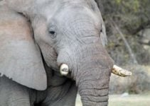 Are Safaris the Best Answer for Elephant Conservation?