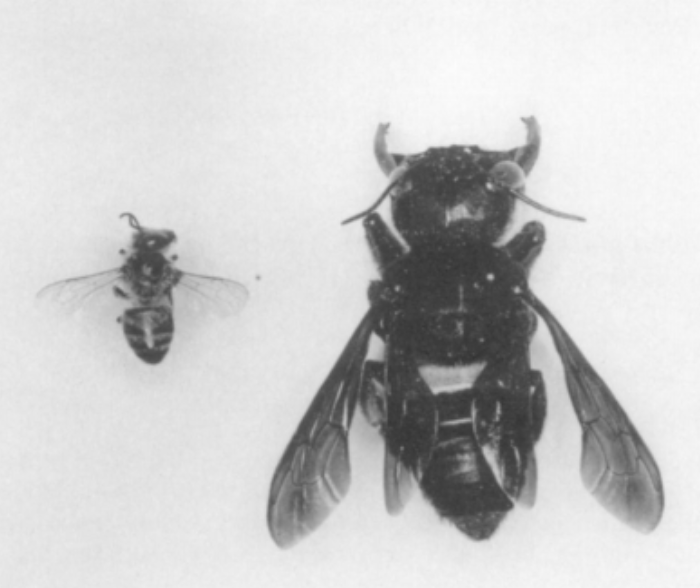 Comparison of a Honey Bee (left) with a Wallace's Giant Bee (right). Photo: Porter, JW in Messer, A. (1984). Chalicodoma pluto: The World's Largest Bee Rediscovered Living Communally in Termite Nests (Hymenoptera: Megachilidae). Journal of the Kansas Entomological Society, 57(1), 165-168. Retrieved from http://www.jstor.org/stable/25084498