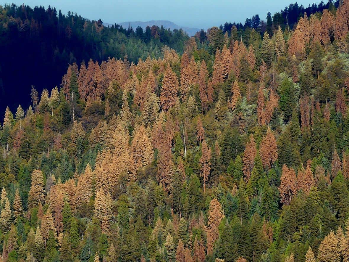 Picture of dead and dying conifer trees in California, October 16, 2015.