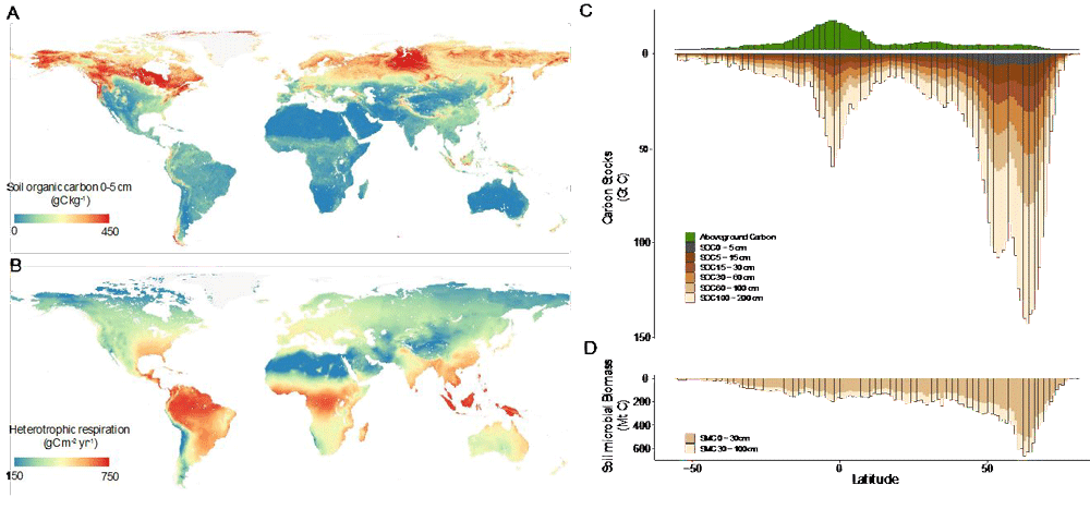 Maps 'A' and 'B' show the global patterns of soil carbon storage and heterotrophic respiration. Graph shows 'C' latitudinal patterns of terrestrial carbon stocks, both aboveground plant biomass 906 (green) and soil carbon stocks (brown). Graph 'D' shows the same latitudinal trend in soil microbial biomass. Figure: Crowther et al., 2019.