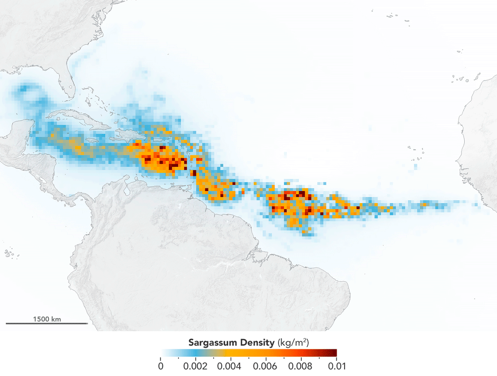 The Great Atlantic Sargassum Belt in July 2018.Scientists used NASA's Moderate Resolution Imaging Spectroradiometer (MODIS) on Terra and Aqua satellites to discover the Great Atlantic Sargassum Belt (GASB), which started in 2011. It has occurred every year since, except 2013, and often stretches from the west coast of Africa to the Gulf of Mexico. Credits: NASA/Earth Observatory. Data provided by Mengqiu Wang and Chuanmin Hu, USF College of Marine Science