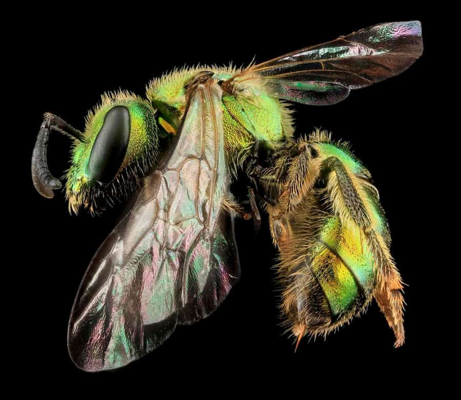 This beautiful metallic bee, Augochlorella aurata, is found in transmission line corridors across the eastern United States and Canada. Photo: David L. Wagner.