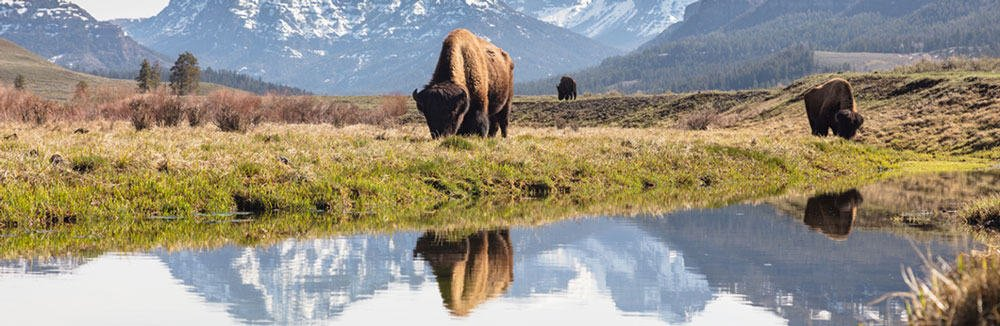 Bull bison grazing in Lamar Valley, Yellowstone National Park. (Credit: Jacob W. Frank, National Park Service. Public domain.)