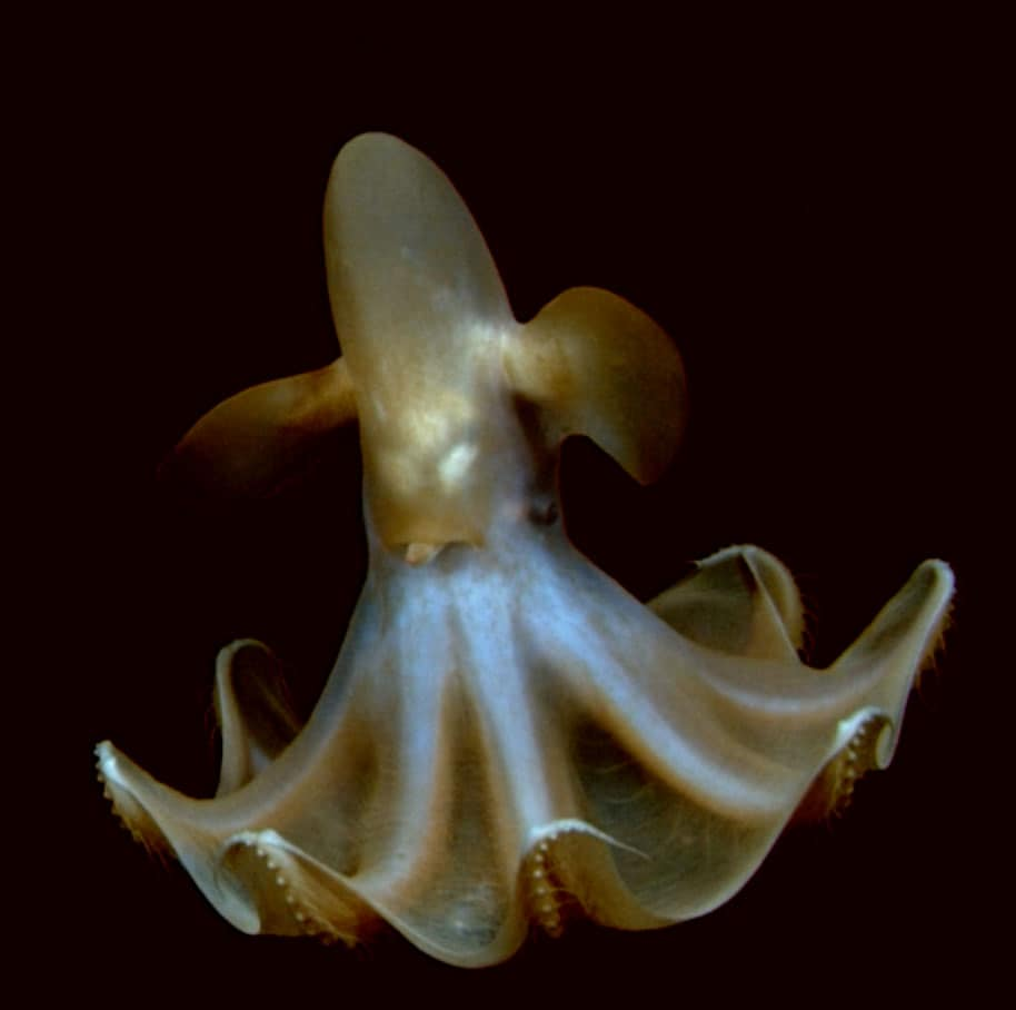 Dumbo octopus. Source: NOAA.