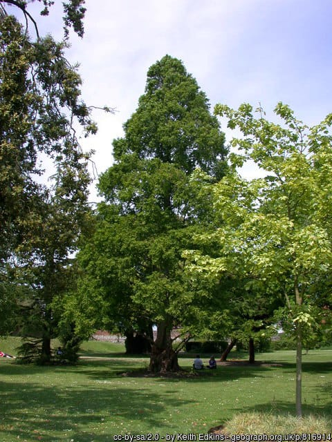 """Dawn Redwood (Metasequoia glyptostroboides) a """"living fossil"""" in West Sussex, England. © Copyright Keith Edkins and licensed for reuse under this Creative Commons Licence."""