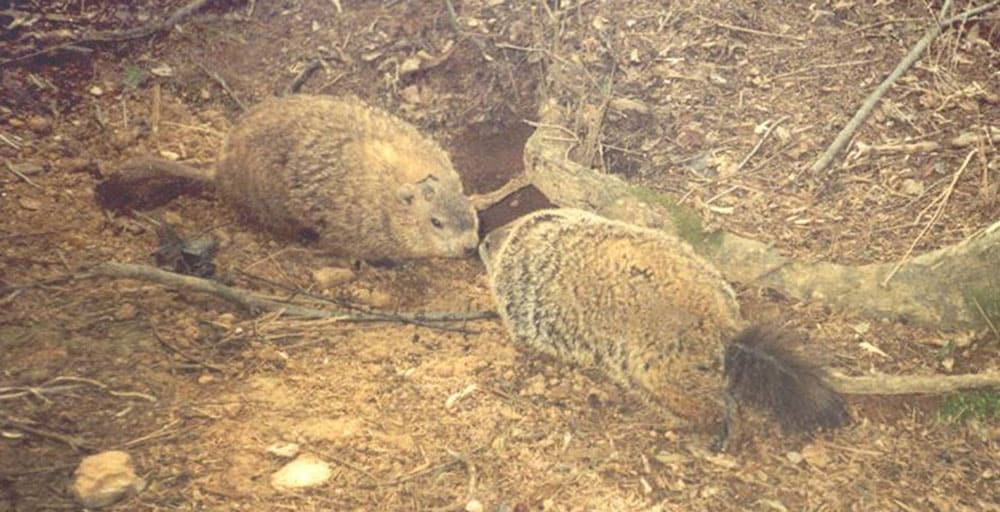 Normally territorial, groundhogs emerge from hibernation in early February to re-establish bonds in time for mating season in March.  In this photo, a male groundhog (right) greets a female groundhog (left) after emerging from hibernation.  Photo:  Stam Zervanos, Creative Commons