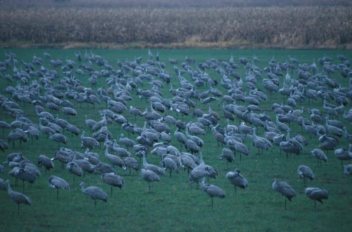 Sandhill cranes flock together on a grassy area in Medaryville, Indiana.  Photo: John J. Mosesso, USGS. Public domain.