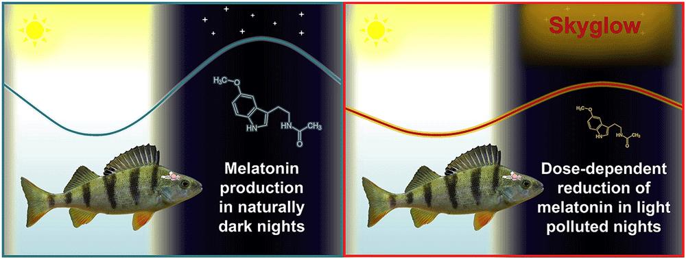 Even low levels of nighttime light pollution disrupt the production of melatonin in European perch. Source: Kupprat, Hölker, Kloas, 2020.