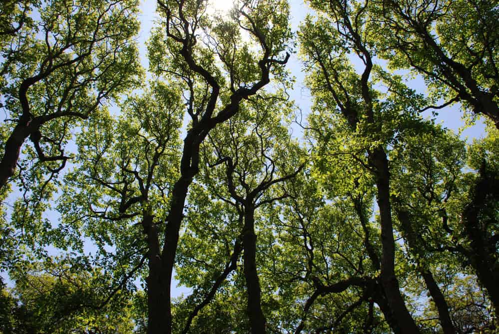 Crown shyness in trees. Gaps between the tree canopies on Fire Island. Photo: NPS, public domain.
