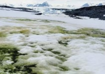 Why Is Antarctica's Snow Turning Green?