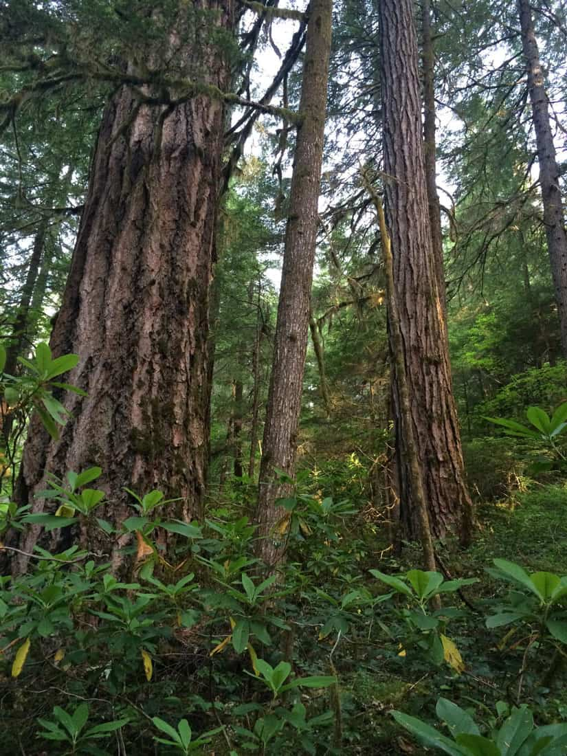Old growth forests have bigger trees and a more complex understory. HJ Andrews Experimental Forest in Oregon.  Photo: Matthew Betts, Oregon State University. Public domain