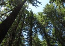 Rapid Growth Shortens Trees' Lifespans – and Adds to the Climate Crisis