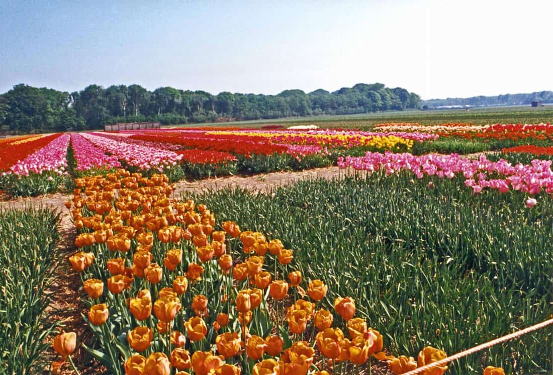 A tulip farm in The Netherlands. Photo: CIA Factbook, public domain.