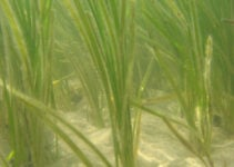 The World's Biggest Seagrass Restoration Project Is Good News for Marine Life and Climate