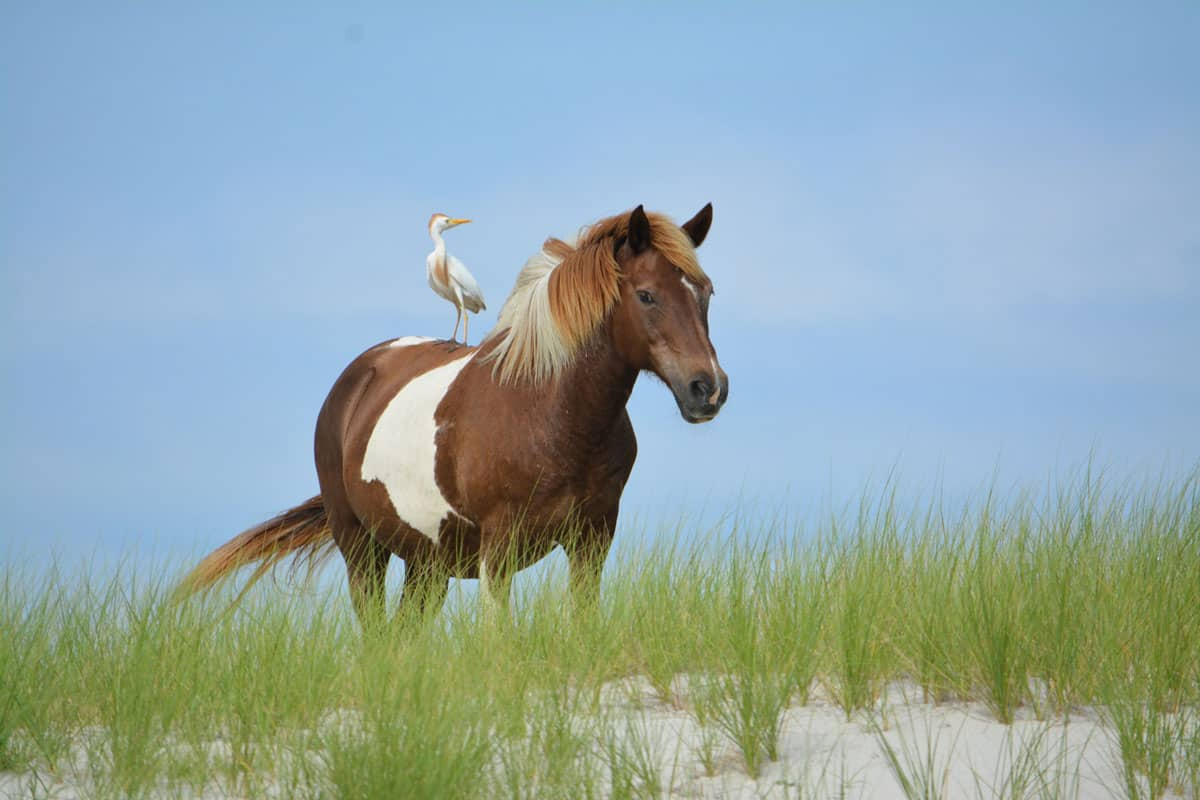 Horse with cattle egret perched on its back, standing on top of dune.