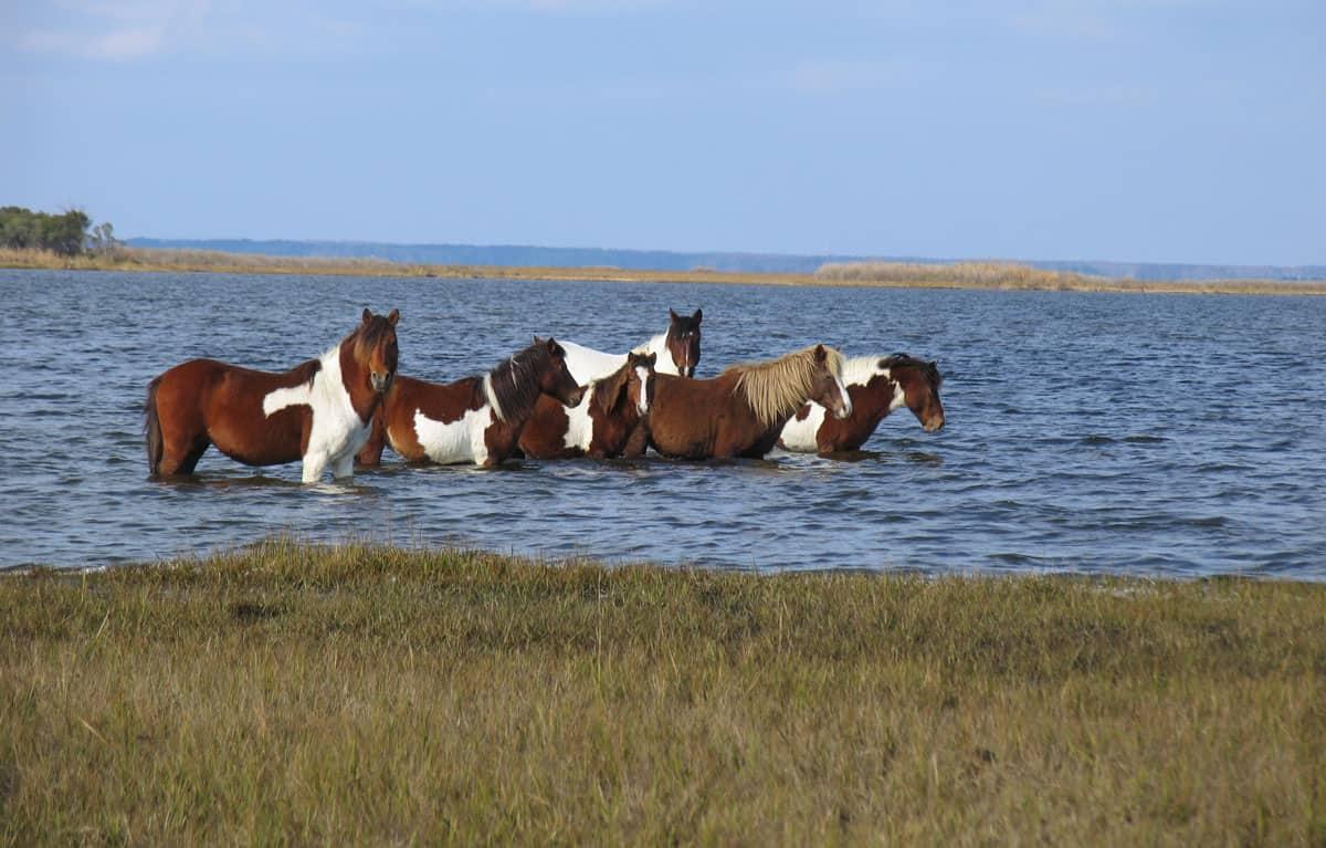 Wild horses in the water at Assateague Island.  Photo: Assateague Island National Seashore, NPS, public domain.