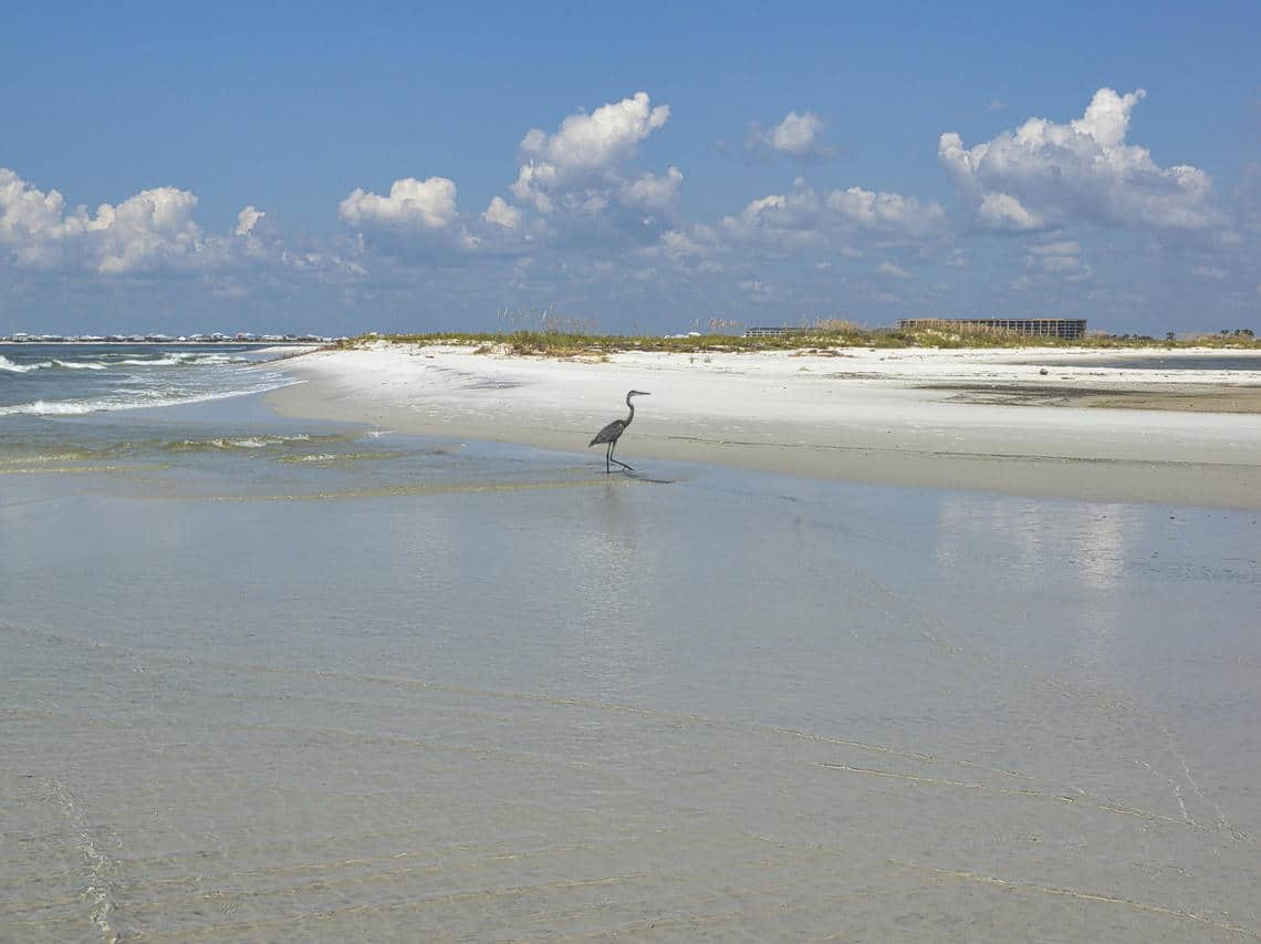 An egret walks in the shallow surf of an undeveloped beach on Dauphin Island, Alabama, with buildings viewed in the background from a different area on the island. Photo: Soupy Dalyander, USGS. Public domain.