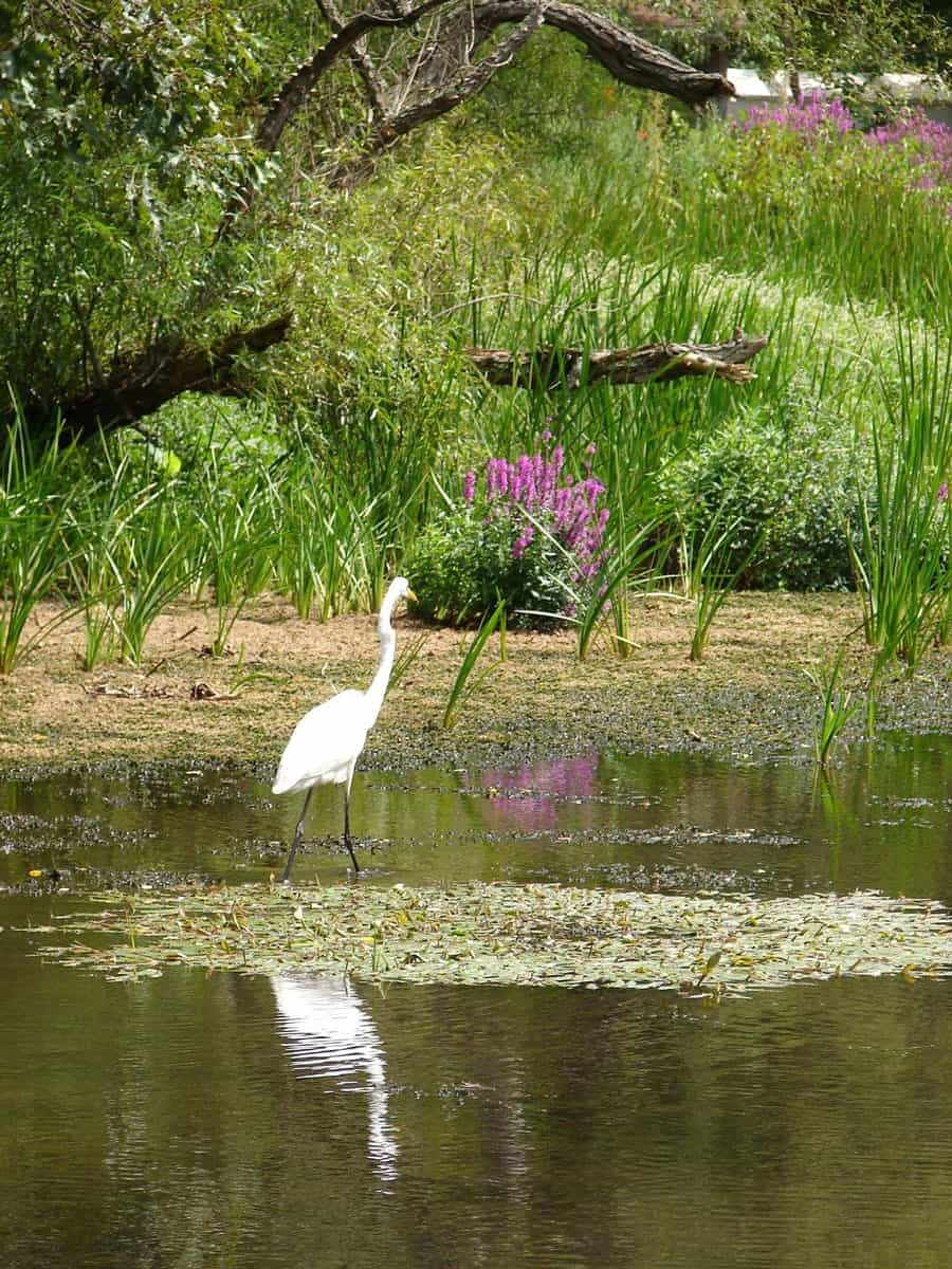 White heron wading in the wetlands in Ironia, New Jersey. Photo: USGS, public domain