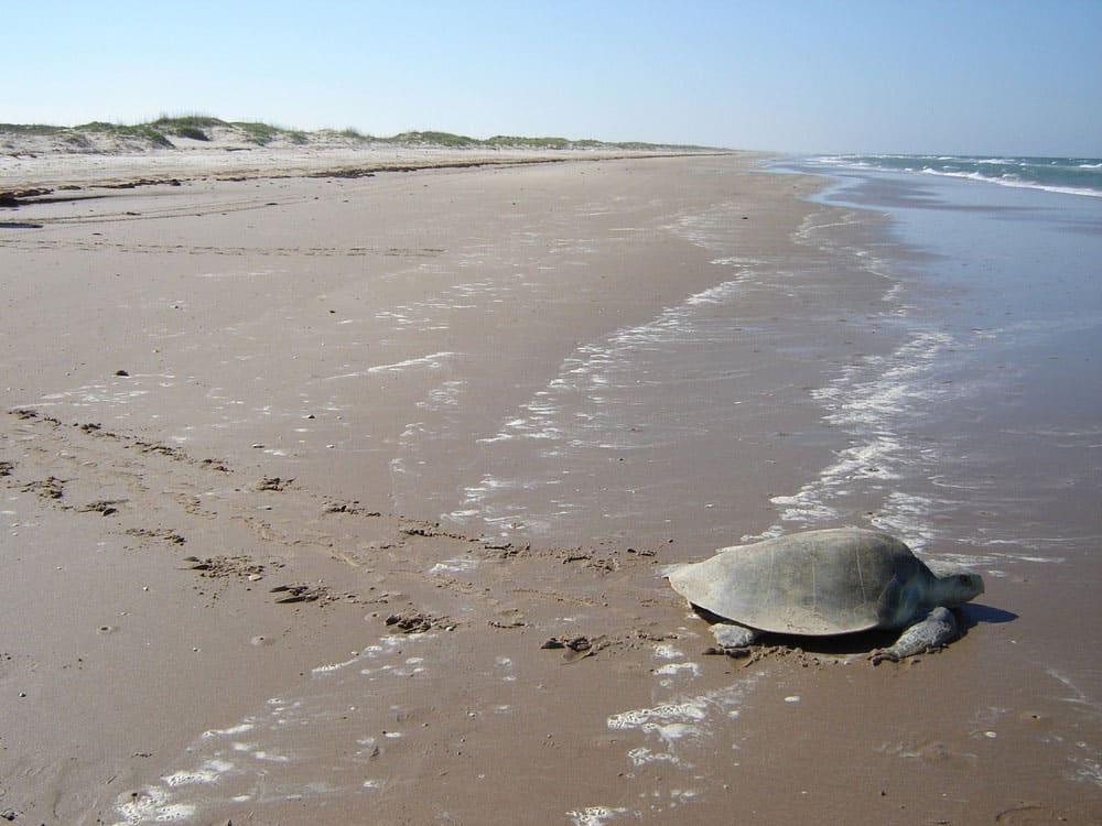 A Kemp's ridley sea turtle makes its way back to the ocean on Padres Island.  Photo: NPS, public domain