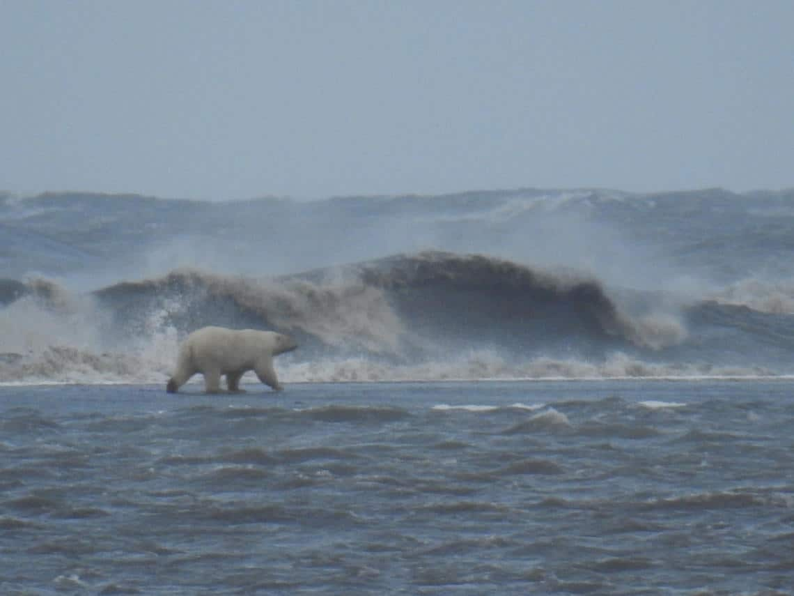 Adult polar bear walking across a recently overwashed barrier island during a large Arctic storm in September 2016. The barrier island is offshore of Barter Island on Alaska's north coast. Photo: Cordell Johnson, USGS Pacific Coastal and Marine Science Center. Public domain.