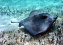 Using Stingrays to Map the Ocean Floor