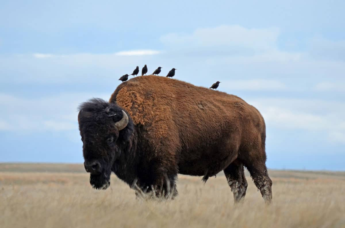 A bison with six starlings on its back.  Bison will scare up insects disturbed by their grazing and movement. This makes their backs ideal perches for insect eating birds. Photo: Wind Cave National Park, NPS / Kim Acker, public domain.