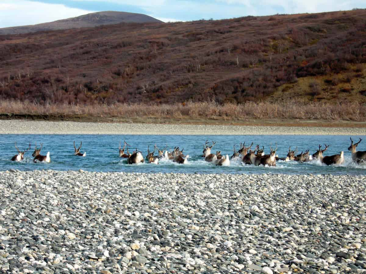 A herd of caribou swims across the Noatak River in Alaska, heading south for the winter. Photo: NPS, Noatak National Preserve, Alaska, public domain.
