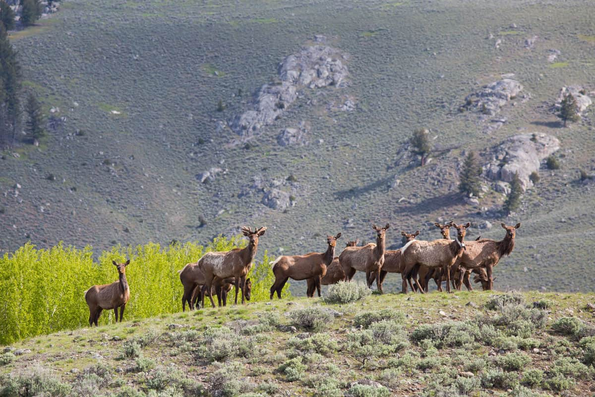 A group of elk in Lamar Valley, Yellowstone National Park.  Photo: NPS/Neal Herbert, public domain.